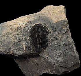 Cheap Elrathia trilobite for sale | Buried Treasure Fossils
