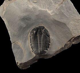 Elrathia trilobite fossils for sale | Buried Treasure Fossils