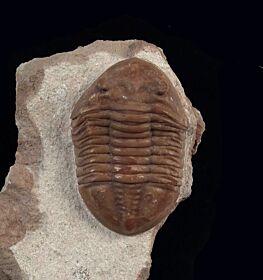Asaphus robustus