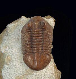 Neoasaphus cornutus