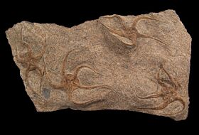 Ophiuroides sp., a Brittle Star for sale  | Buried Treasure Fossils