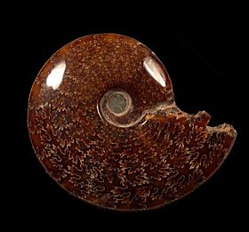 Large Cleoniceras ammonite for sale | Buried Treasure Fossils