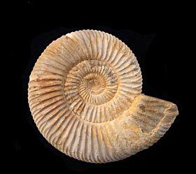 Large Cranaosphinctes ammonite for sale   Buried Treasure Fossils
