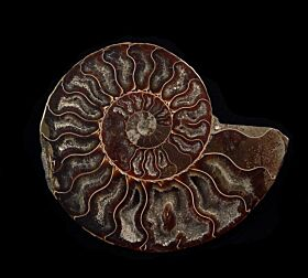 Cleoniceras ammonite for sale | Buried Treasure Fossils