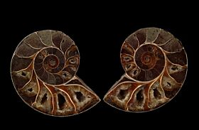 Ammonite from Madagascar for sale | Buried Treasure Fossils