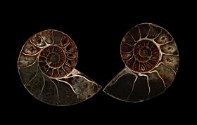 Cleoniceras ammonite pair for sale | Buried Treasure Fossils