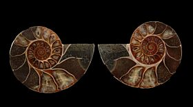 Cleoniceras ammonite sliced pair for sale