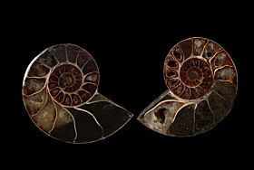 Cheap Cleoniceras ammonite polished pair for sale | Buried Treasure Fossils