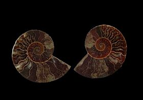 Cheap ammonite pair for sale | Buried Treasure Fossils