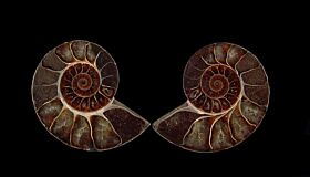 Real Cleoniceras ammonite polished halves for sale | Buried Treasure Fossils