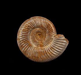 Large Cranaosphinctes for sale   Buried Treasure Fossils