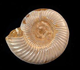 Cranaosphinctes sp.