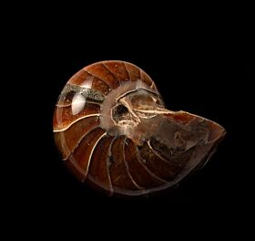 Large Nautiloid ammonite for sale | Buried Treasure Fossils