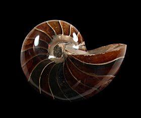 Madagascar Nautiloid ammonite for sale | Buried Treasure Fossils