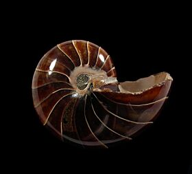 Nautiloid ammonite for sale | Buried Treasure Fossils