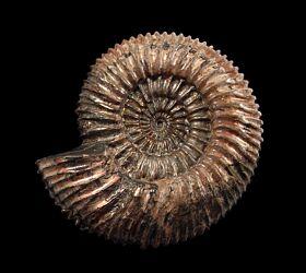 Ammonite - Speetoniceras for sale | Buried Treasure Fossils