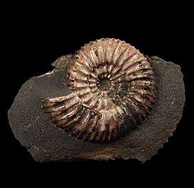 Ammonite - Speetoniceras