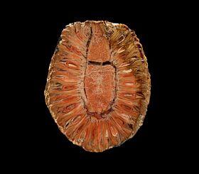Colorful Araucaria pine cone polished half for sale | Buried Treasure Fossils