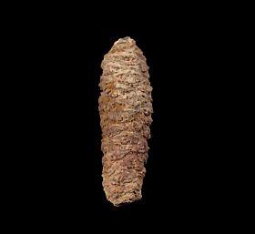 Pararaucaria fossil pine cone for sale | Buried Treasure Fossil
