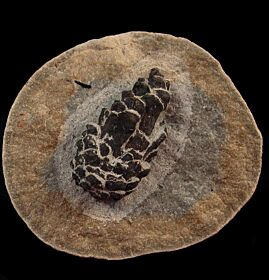 Fossil Pine Cone. Oligocene age  from Germany.