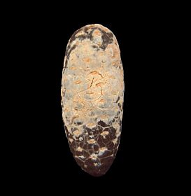 Real Moroccan Dicotaledon for sale | Buried Treasure Fossils