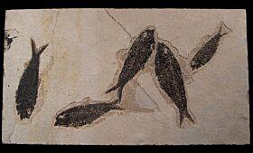 Rare fish mortality plate including four Knightia fish | Buried Treasure Fossils
