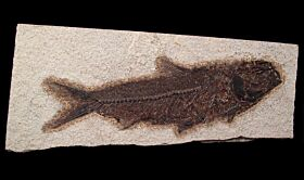 Wyoming Fossil fish for sale - Knightia – cheap   Buried Treasure Fossils