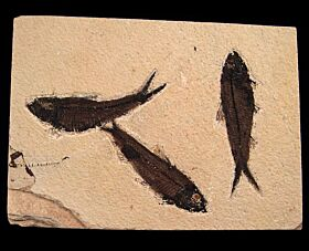 Knightia eocaena - a Herring-like fish for sale | Buried Treasure Fossils