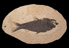 Inexpensive Knightia fish for sale | Buried Treasure Fossils