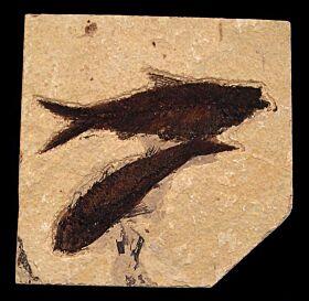 Two Knightia eocaena fossil fish for sale | Buried Treasure Fossils