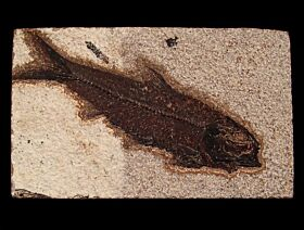 Green River Knightia fish for sale | Buried Treasure Fossils