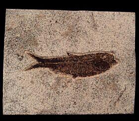 Green River Fm. Knightia fossil fish for sale | Buried Treasure Fossils