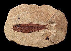 Quality Knightia eocaena fish for sale | Buried Treasure Fossils