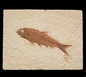 Real Knightia eocaena fish for sale | Buried Treasure Fossils
