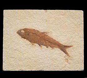 Real Knightia eocaena fish for sale | Buried Treasure Fossils