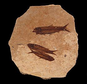 Fossil fish mortality plate for sale | Buried Treasure Fossils