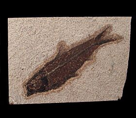 Two Knightia eocaena fossil fish for sale | Buried Treasure Fossils