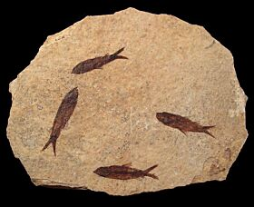 Large Knightia fossil fish for sale   Buried Treasure Fossils