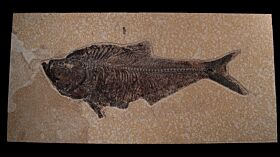 Top quality Fossil fish for sale - Diplomystus dentatus | Buried Treasure Fossils