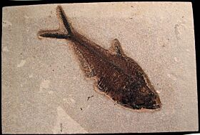 Top quality Diplomystus Fossil fish for sale | Buried Treasure Fossils