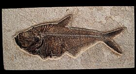 Green River Fossil fish for sale | Buried Treasure Fossils
