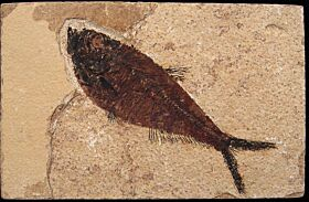 Quality Diplomystus fish for sale | Buried Treasure Fossils
