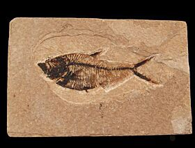 Top quality Fossil fish for sale | Buried Treasure Fossil