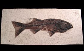Mioplosus labracoides fossil fish for sale | Buried Treasure Fossils