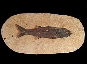 Mioplosus labracoides