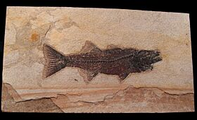 Mioplosus labracoides for sale | Buried Treasure Fossils