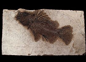 Priscacara serrata  fish for sale | Buried Treasure Fossils