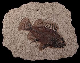 Fossil fish for sale from the Green River formation | Buried Treasure Fossils