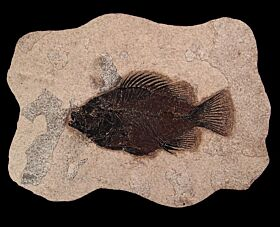 Real Cockereillites fish for sale | Buried Treasure Fossils