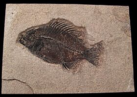 Green River Fm. fossil fish for sale | Buried Treasure Fossils